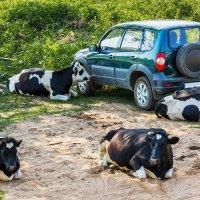 «Выхлопы» от коров — как от машин. Гринпис в шоке